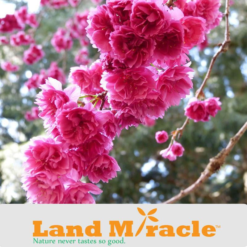 1 Professional Pack, 10seeds / Pack , Japanese cherry blossom Sakura seed oriental cherry Bosai Flower Seed Land Miracle TOP15
