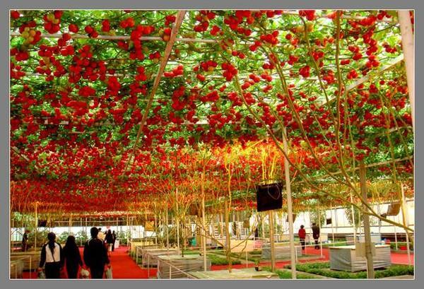 Piante di alta qualità, grandi semi di pomodori rampicanti, semi ad alto rendimento di frutta bonsai