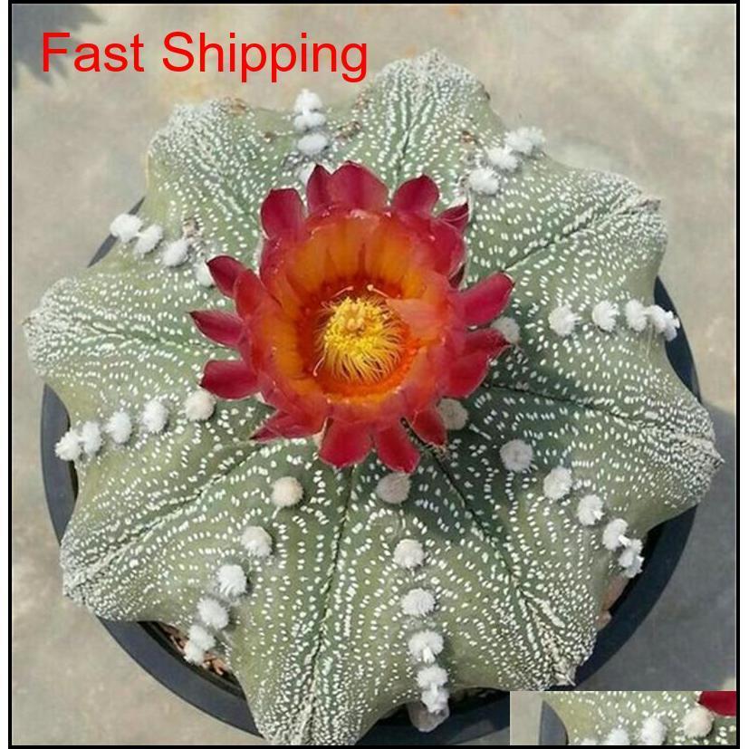 100 pcs exotic cactus seeds japanese rare succulents seeds flower sementes bonsai seeds indoor plants perennial flowers garden