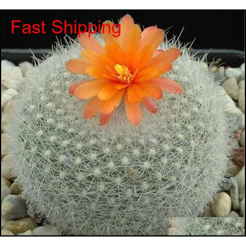 100 pcs exotic cactus seeds japanese rare succulents seeds flower sementes bonsai seeds indoor plants perennial flowers garden