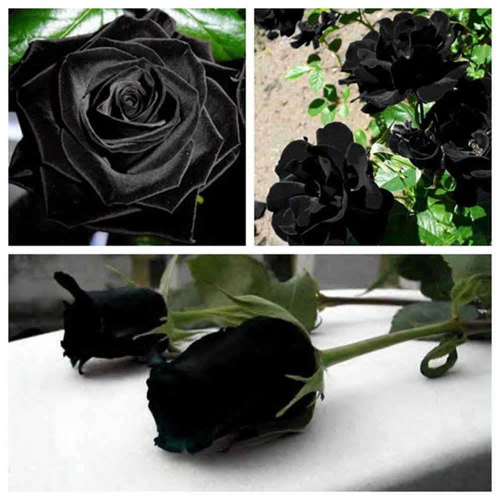2018 pack rare black rose seeds beautiful black rose black flower 2018 pack rare black rose seeds beautiful black rose black flower from maiweilai 101 dhgate izmirmasajfo