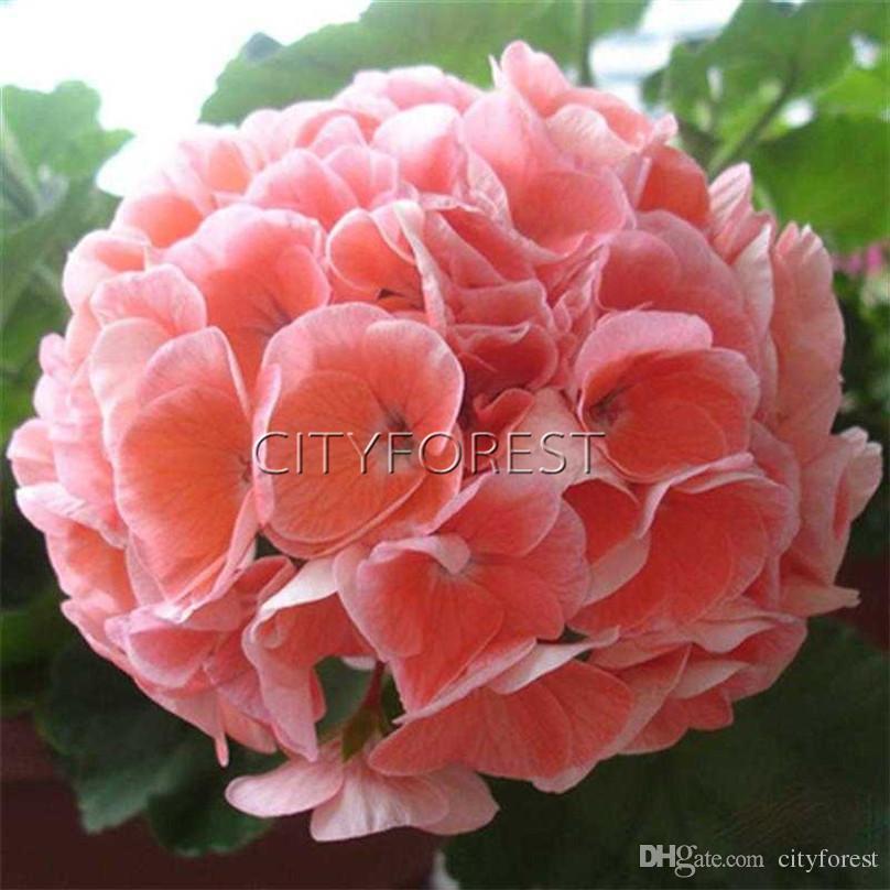 114772b15 2019 Salmon Pink Geranium Flower Pelleted Seeds DIY Home Garden Perennial  Containers Bedding Flower Plant High Germination From Cityforest, $7.03 |  DHgate.