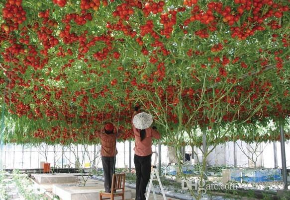 Plantes de haute qualité, graines de tomate pour arbres grimpants de graines de bonsaï à haut rendement