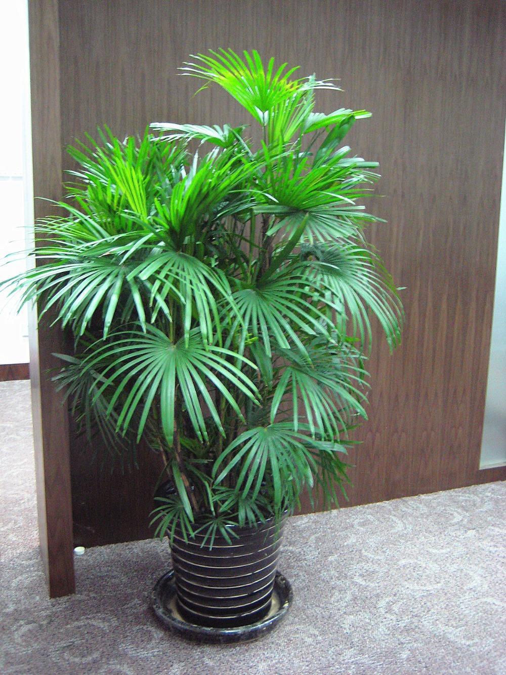 Grosshandel Heiss Zeit Limitedlaubpflanzesamen Bambuspalme Excelsa