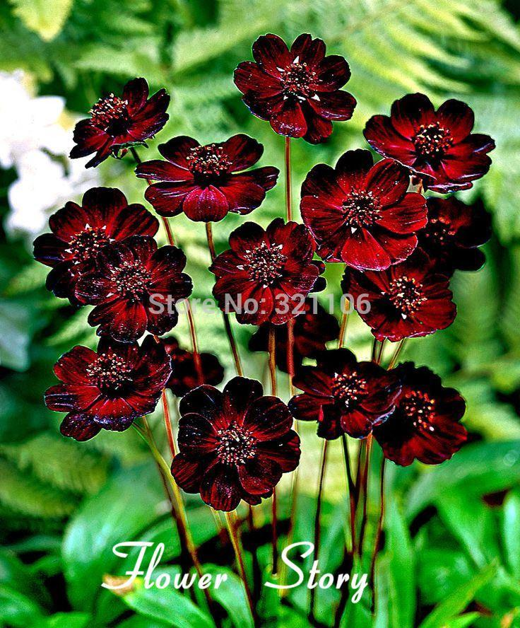 2018 400 chocolate cosmos blooms all summer long and has rich scent 2018 400 chocolate cosmos blooms all summer long and has rich scent like chocolate diy home garden flowerfrom watchsaler 1236 dhgate mightylinksfo