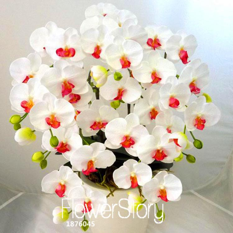 Sale!200 PCS/Bag White Phalaenopsis Seeds Butterfly Orchid Potted Seed Indoor Flowers Bonsai Four Seasons,#T5PKI7