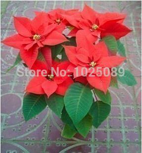2019 Bag Poinsettia Seeds Potted Seed Flower Seed Variety