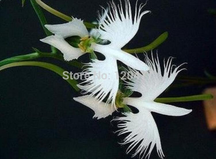 2018 worlds rare flower japanese radiata seeds for garden home 2018 worlds rare flower japanese radiata seeds for garden home planting white dove orchids seeds 50seedsbag from bigbox 1261 dhgate mightylinksfo