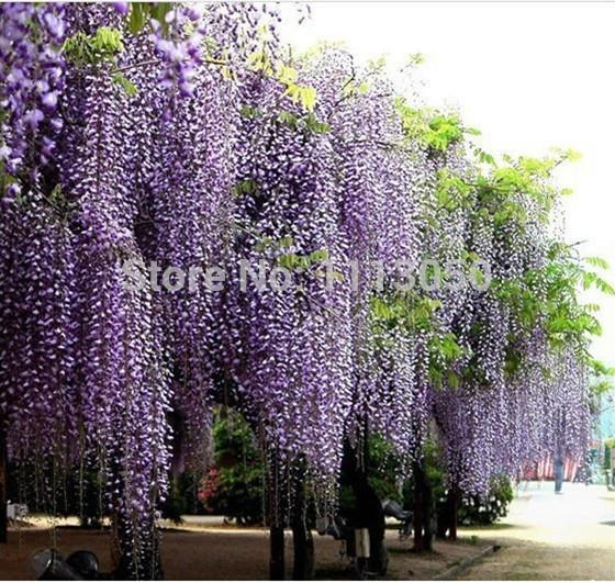 Wisteria Home In 2019: 2019 Wisteria Seeds Purple Wisteria Flower Seeds For DIY