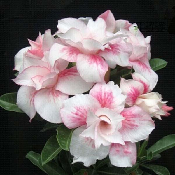 Unique diamond light pink double flowers red stripe adenium plants unique diamond light pink double flowers red stripe adenium plants balcony potted flowers seeds adenium obesum seeds seeds palm seed growth seeds 5 online mightylinksfo