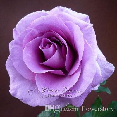 Acheter 120 Fleurs De Lavande Rose Fleur Plante De Jardin Bricolage