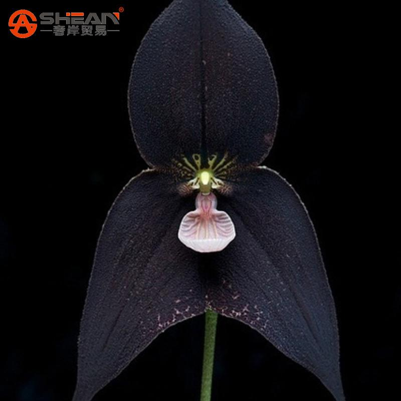 Pretty Rare Black Monkey Face Orchid Plant Seed Patio And Garden