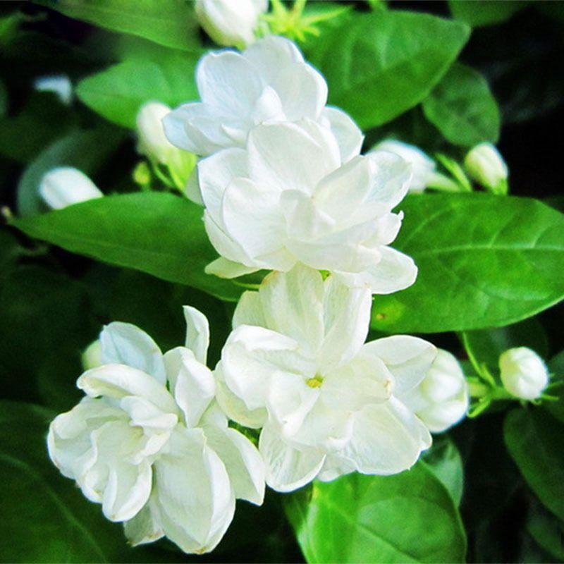 2019 Hot Sale White Jasmine Seeds Jasmine Flower Seeds