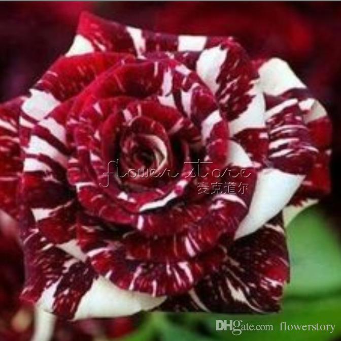 20 Semi Abracadabra Rose cespuglio di fiori bellissimi giardini ~ !! TT289 di trasporto