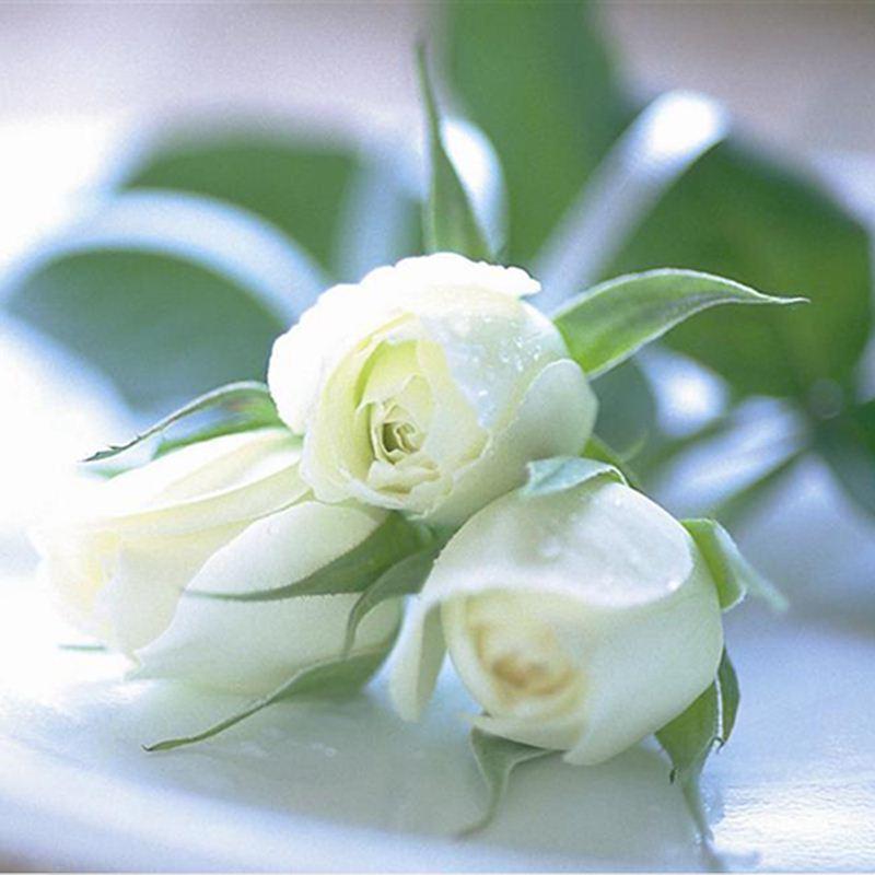 Online cheap china rare white rose flower seeds diy home gardening online cheap china rare white rose flower seeds diy home gardening flower potted plant balcony by shujuan1983 dhgate mightylinksfo