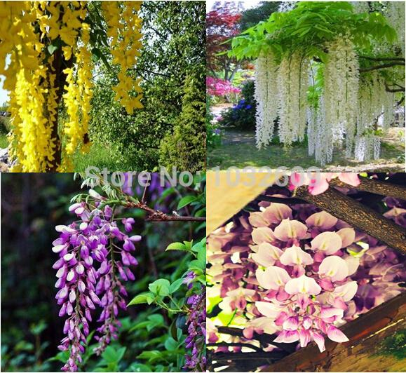 Home Garden Semi di glicine cinese Mix 4 colori 160pcs Semi di fiori rari Purplevine Creepers Seeds Sementes De Flores