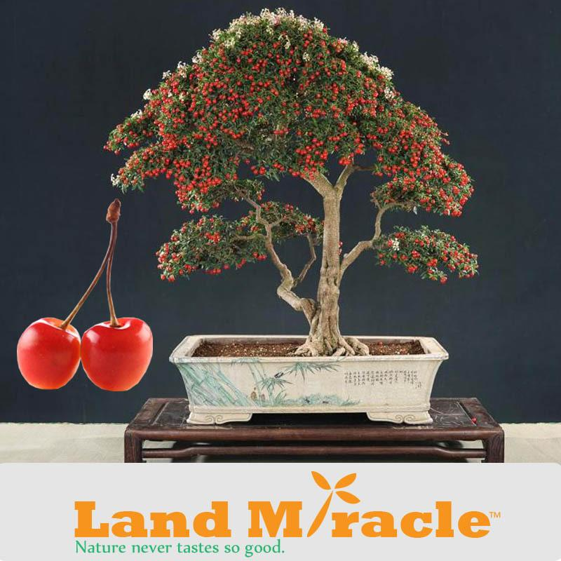 How To Grow A Cherry Bonsai Tree From Seed Bonsai Tree