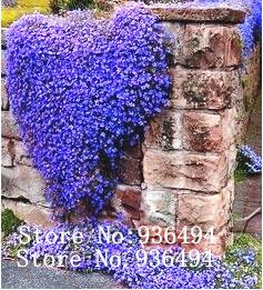 Flower seedsblue to climbing perennial flowering groundcover seeds flower seedsblue to climbing perennial flowering groundcover seeds rock cress flowering plants seed plant online with 982piece on a789789s store mightylinksfo
