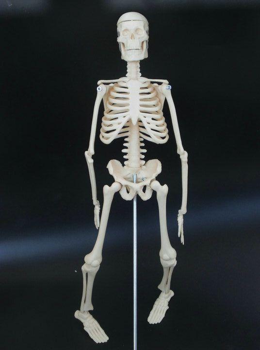 Small Human Skeleton On Stand Anatomical Model 45cm Human Skeleton