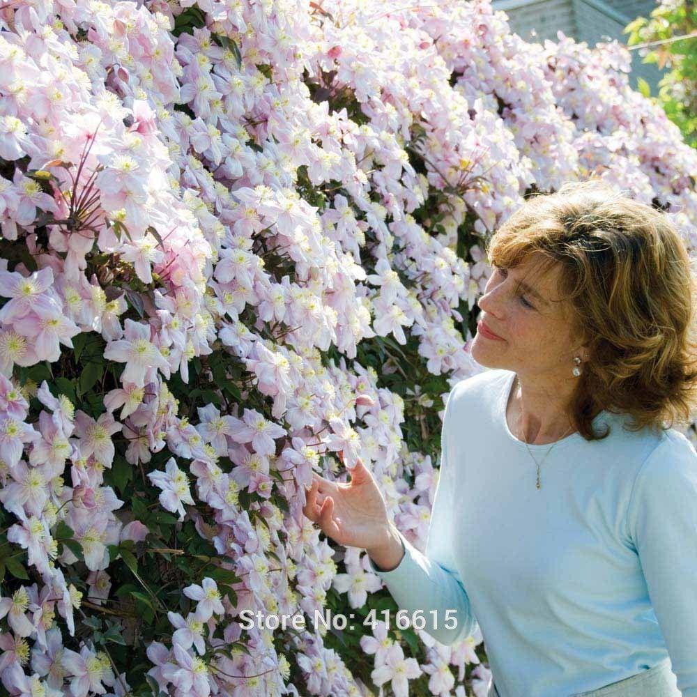2018 Clematis Seeds Clematis Montana Mayleen Seeds Pink Vine Flowers
