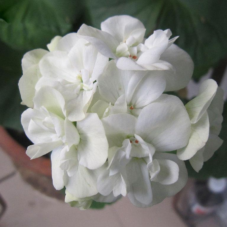 Hot sale rare white geranium seeds perennial flower seeds hot sale rare white geranium seeds perennial flower seeds pelargonium peltatum seeds for indoor rooms seed shipping seed seed red online with 055piece on mightylinksfo