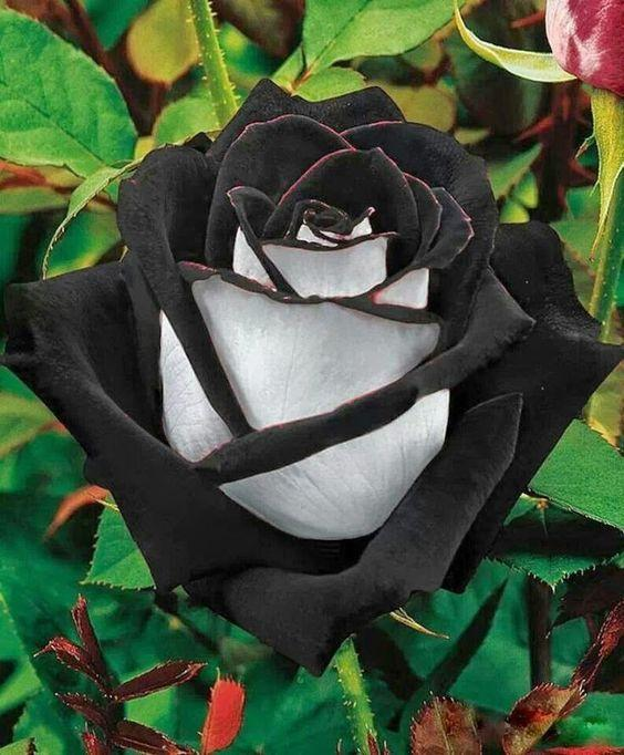 2017 ombre black red and white rose flower seeds *100 seeds