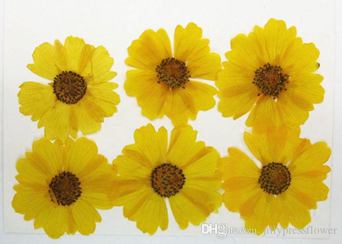 Customized Real Dried Pressed Sanvitalia Flowers Bracelet Yellow Color Natural Plant Specimens For Vegetation Teaching Props