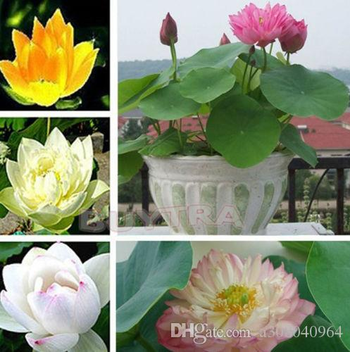 2019 New Mix Lotus Seeds Asian Water Flower Aquatic Plants Fragrance