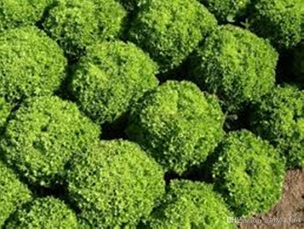 씨앗 양상추 잎 샐러드 롤라 Biondi 유기농 가보 야채 씨앗 100 씨앗 T023