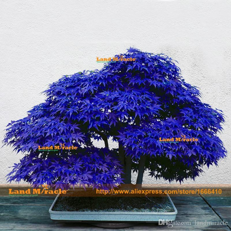 10 Seeds/pack, Bonsai blue maple tree seeds Bonsai tree seeds. rare japanese sky blue maple seed. Balcony plants for home garden