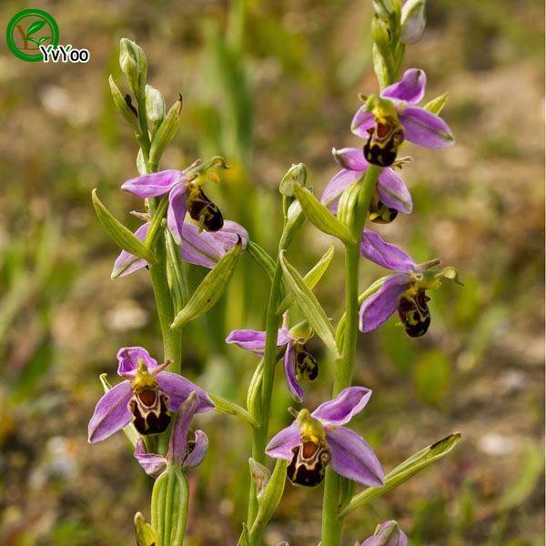 Семена орхидеи редкие редкие семена цветов DIY дома садовое растение легко выращивать 30 частиц / лот E012