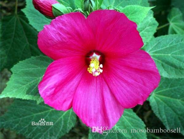 2019 Wholesale Hardy Hibiscus Moscheutos Huge Tropical Blooms Mix