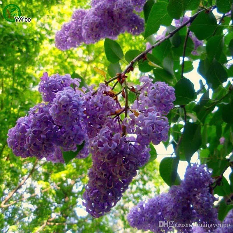 Sementes de Lilás Chinês Bonsai Sementes de Árvores Esta é 100% Verdadeira Semente R019