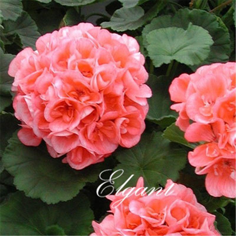 Acheter Rose Geraniums Fleur 20 Graines Plus Populaire Vivace Diy