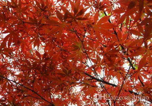 60 SEMILLAS CHINESE RED MAPLE CON PAQUETE HERMÉTICO * MUY HERMOSO * RED SUNSET MAPLE NUEVAS SEMILLAS * MÁS REGALO MISTERIOSO!