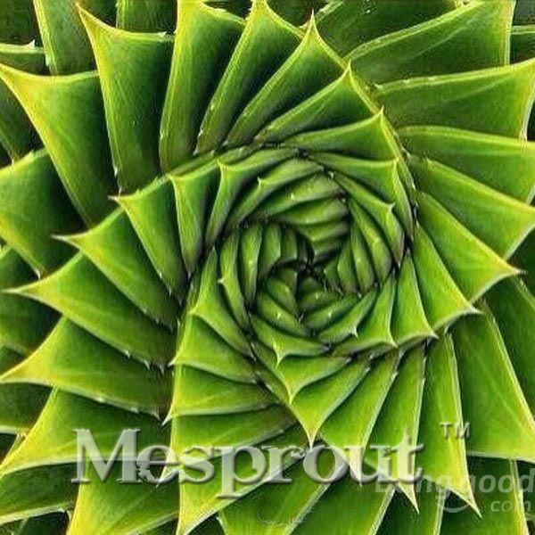 Semillas espirales raras semillas de suculentas, MESA Aloe polyphylla rotación semillas de aloe vera reina, 100 unids / bolsa