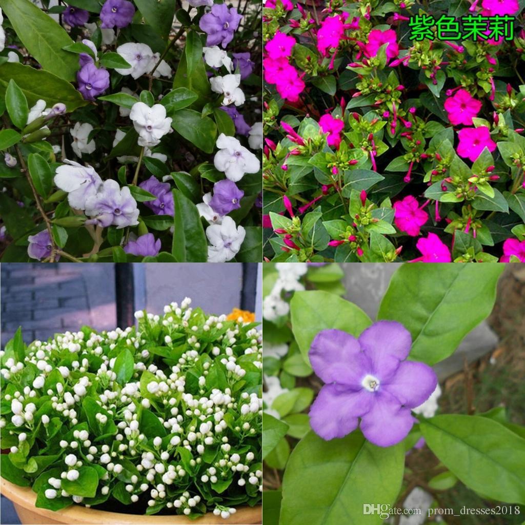 2016 Jasmine Genus Aiton 100 Jasmine Flower Seeds Seeds Of Southern