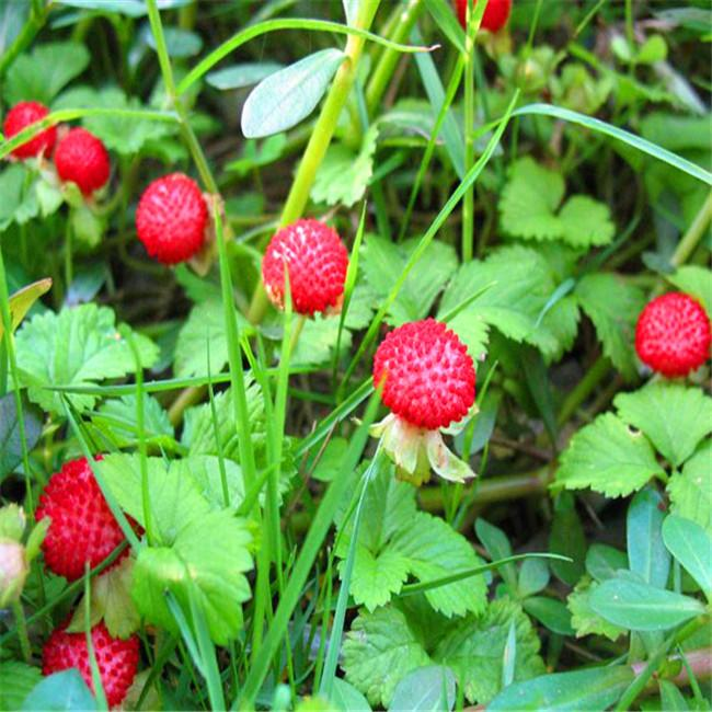 인도 딸기 씨앗, 화분에 심은 씨앗 인도 딸기 나무 씨앗의 집 정원, 50 개 / 가방 L002