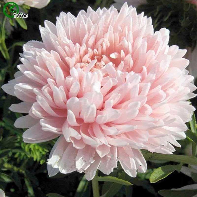 Многоцветные дополнительные китайские семена астры бонсай цветок для комнатных семян 30 частиц / лот G013