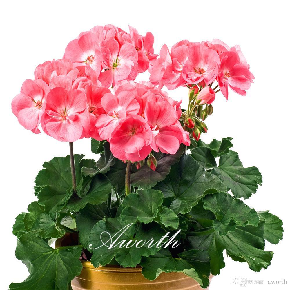 2018 Pink Geraniums Flower Seeds Easy To Grow Perennial Flower