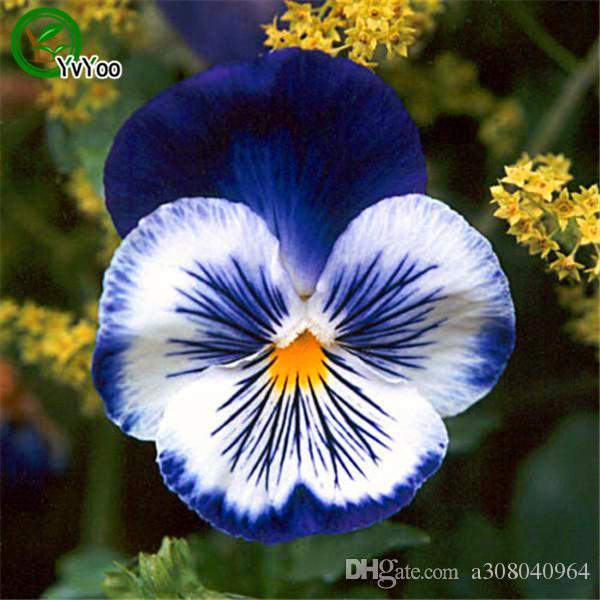 Висячие Анютины глазки семена цветов семена крытый бонсай завод 30 частиц / лот L091