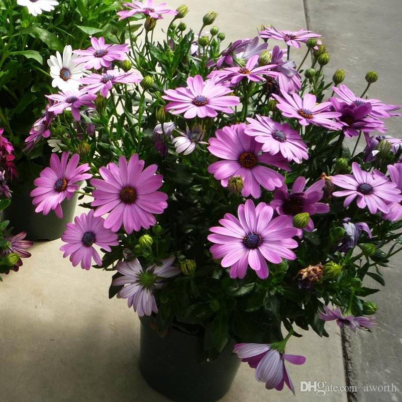 Acheter Sud Afrique Du Sud Cape Marigold Fleur Graines Grand Pot