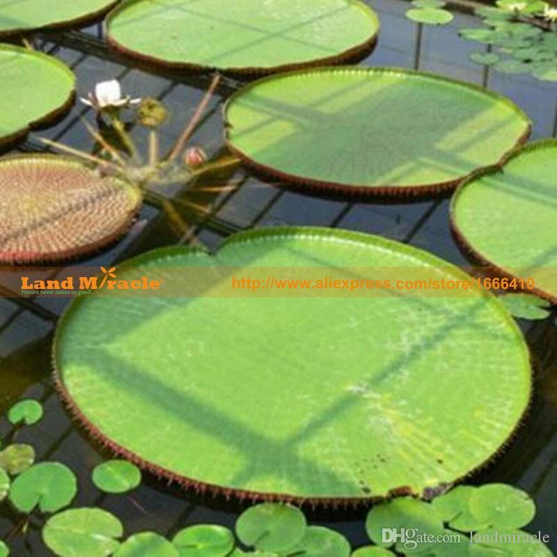 1 Samen / pack, Victoria Cruziana Royal Seerose Samen, Hydroponische Blumen Riesenlilie