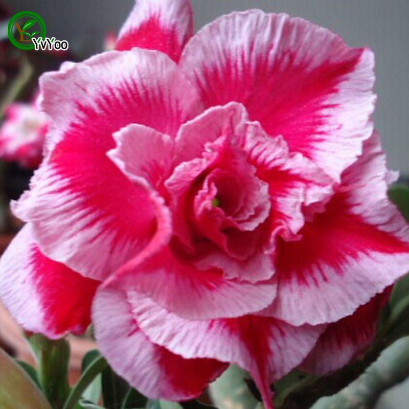 Desert Rose Graines Bonsaï Fleur Plante Graines Très parfumée 5 Particules / B015