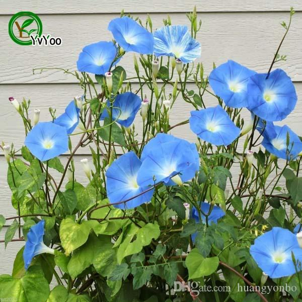 Blue Morning Glory seeds Flower Seeds Bonsai Plant for Home Garden 15 Particles / lot