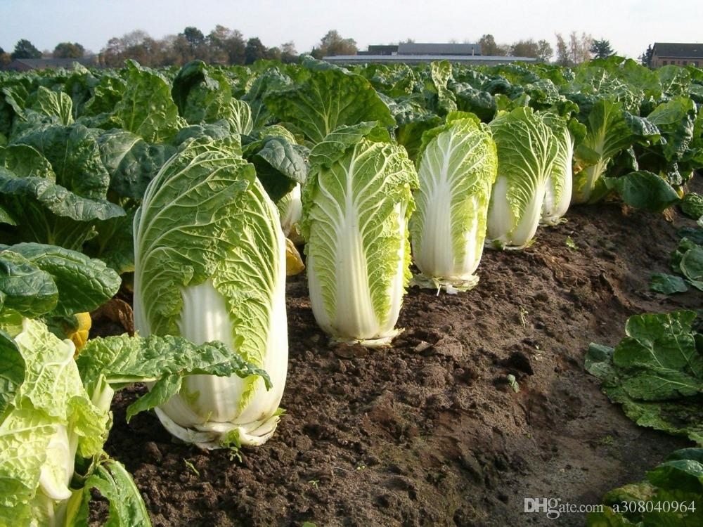 MICHIHILI CABBAGE Graines de Bok Choy aux Légumes Chinois 200+ Graines Biologiques S010