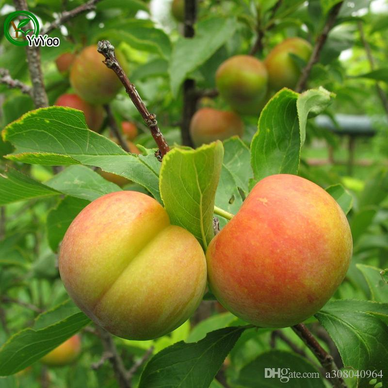 Plum Seeds Green Organic Vegetables and Fruit Seeds Delicious 5 Particles / M013
