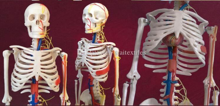 wholesale New Human skeleton with spinal nerve disc model 85cm Can be active teaching medical mannequins body C006
