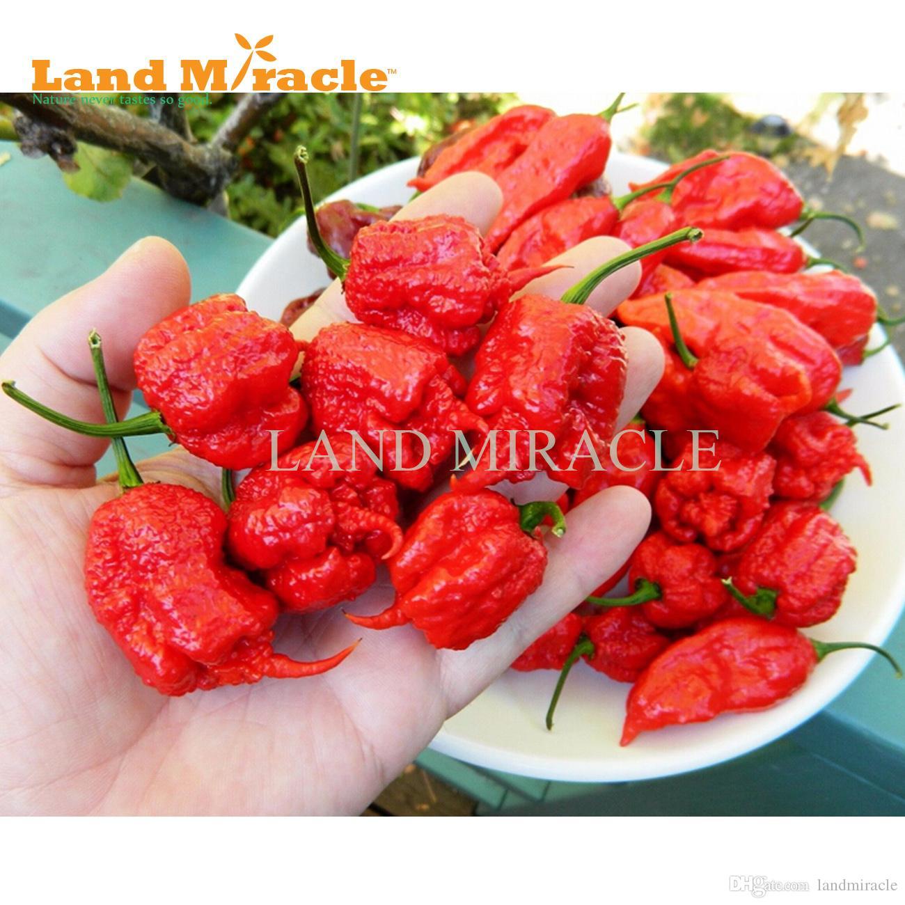 Nova variedade de sementes de malagueta, 100 sementes, Trinidad Scorpion MORUGA pimenta sementes * pimenta mais quente do mundo *