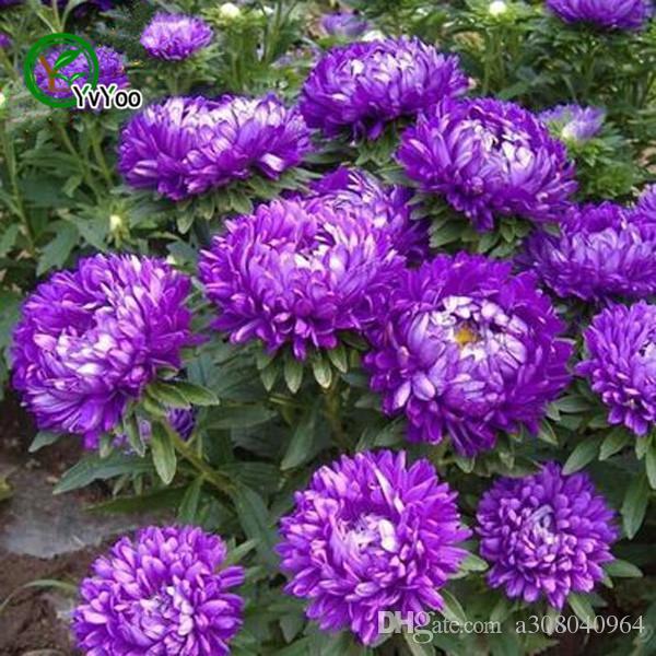 Viola Cina aster Semi Bonsai Balcone Fiore In Vaso Semi Giardino Domestico di DIY 50 Particelle / lotto H027